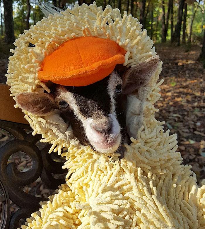 polly la cabra que se viste de pato para combatir la ansiedad 4