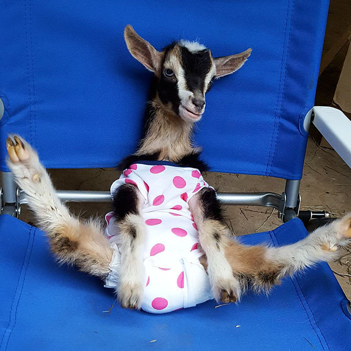 polly la cabra que se viste de pato para combatir la ansiedad 5