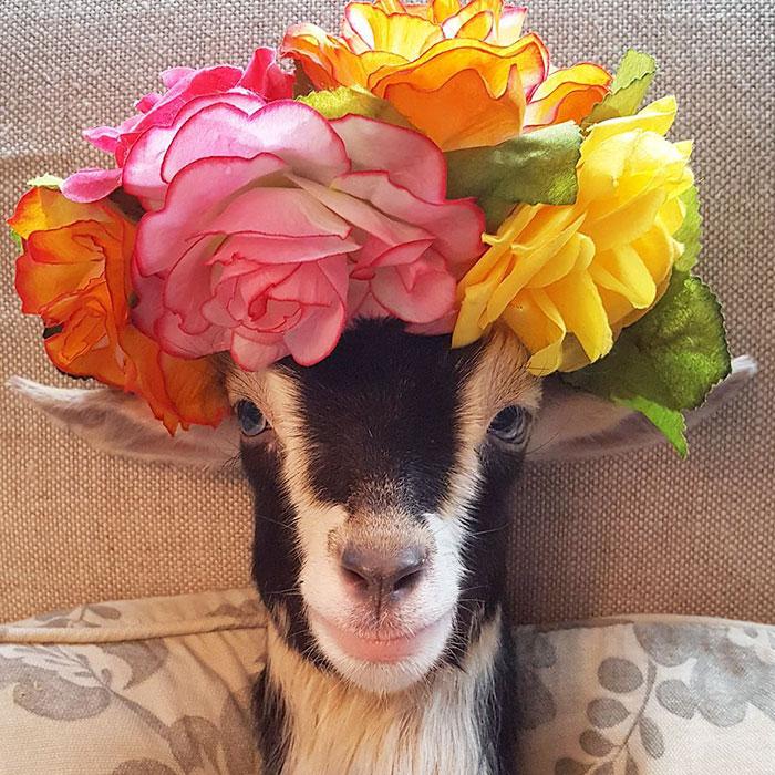 polly la cabra que se viste de pato para combatir la ansiedad 6