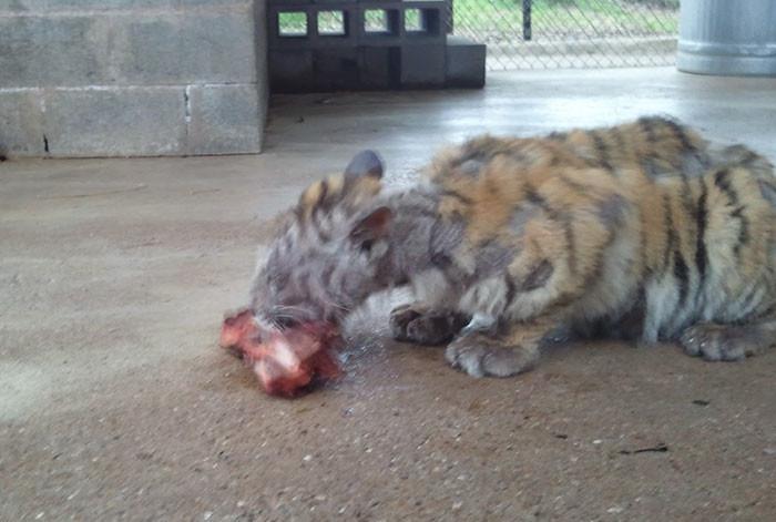 tigre recuperacion 2