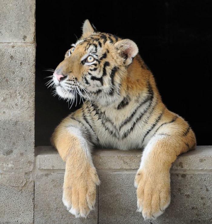 tigre recuperacion 3