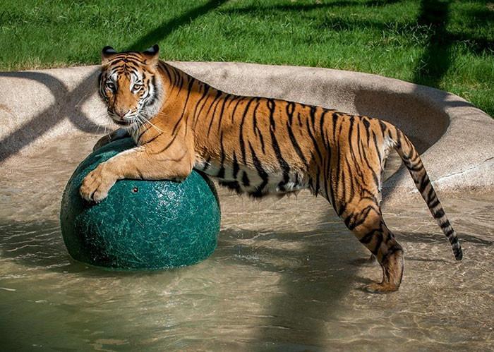 tigre recuperacion 5