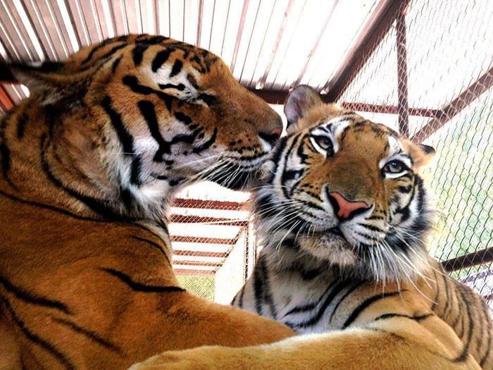 tigre recuperacion 6