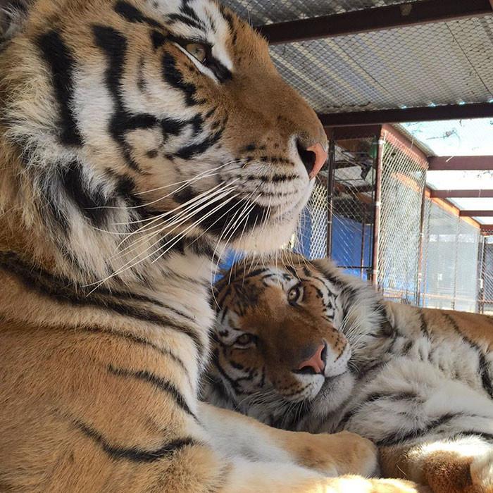 tigre recuperacion 8