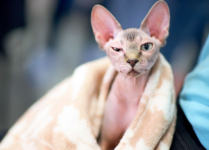 gatitos depilados como si fueran sphynx 1