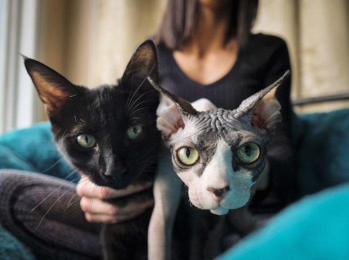 gatitos depilados como si fueran sphynx 4
