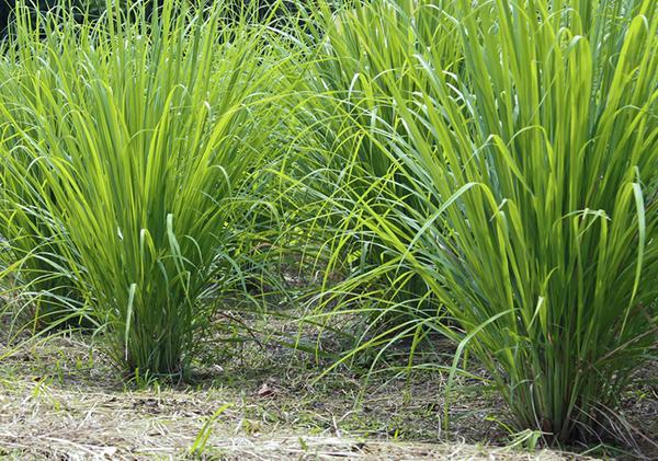 lemongrass_2