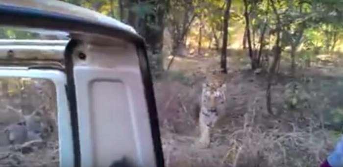 un tigre se pasea cerca de un coche sin puertas 1