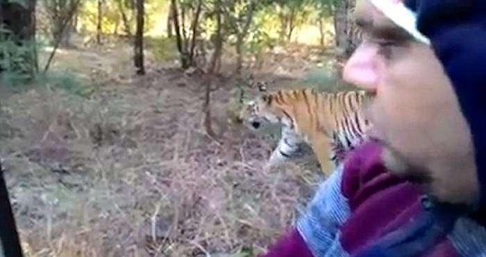 un tigre se pasea cerca de un coche sin puertas 2