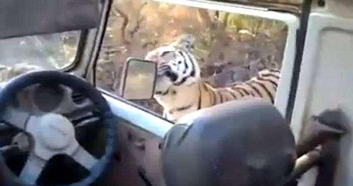 un tigre se pasea cerca de un coche sin puertas 3