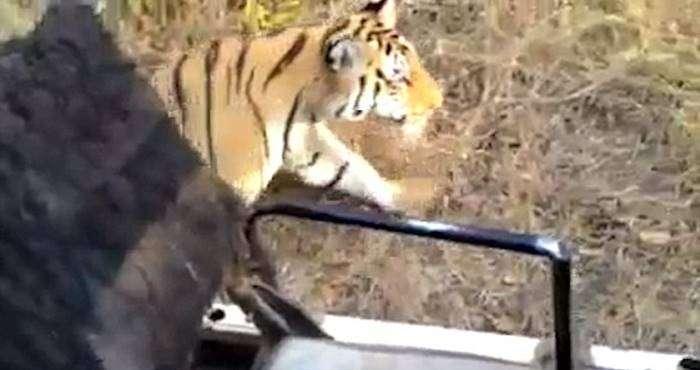 un tigre se pasea cerca de un coche sin puertas 5