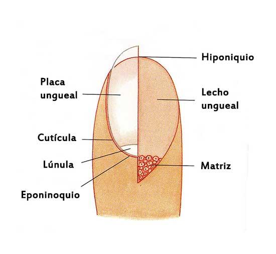 Tienes grandes manchas semicirculares en algunas de tus uñas? Es por ...