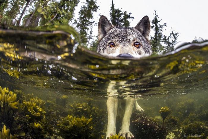 Conoce A Los Extraños Lobos Que Viven En El Mar Y Pueden Nadar