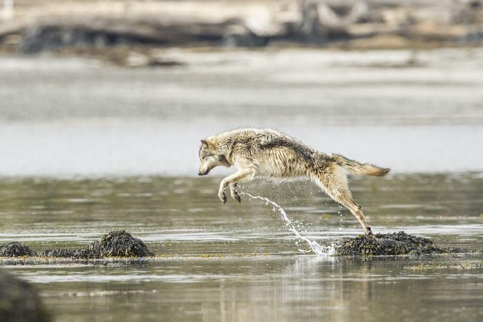 Image result for lobo de mar puede nadar horas