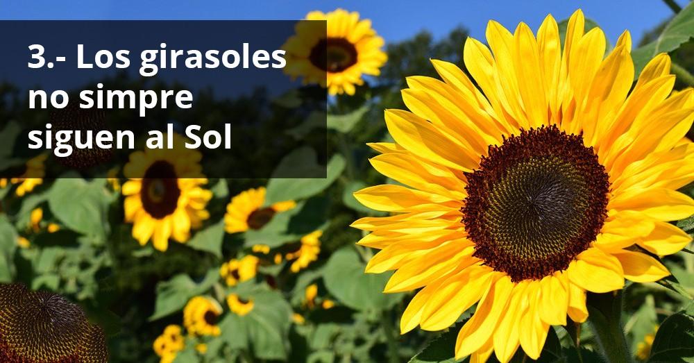girasoles-sol