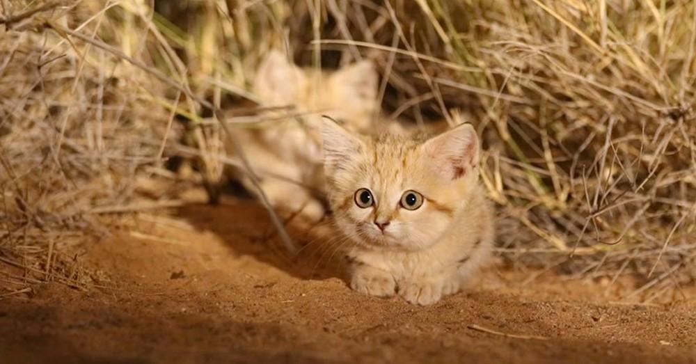 gato-de-las-arenas