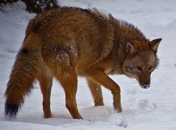 """Otro ejemplo de híbirdo es el """"Coywolf"""" que tiene aproximadamente un 25% de lobo y un 66% de coyote."""