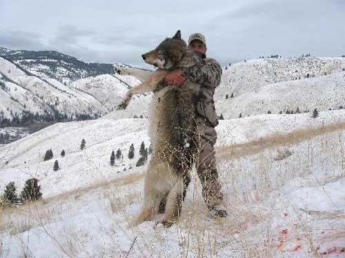 wolfdog-6