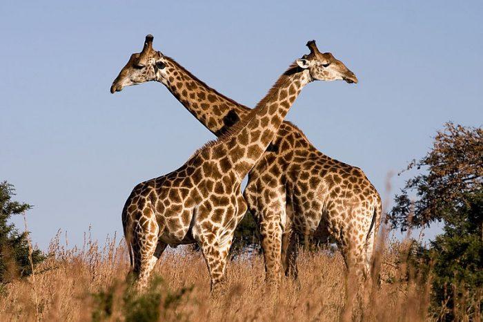 animal más alto del mundo