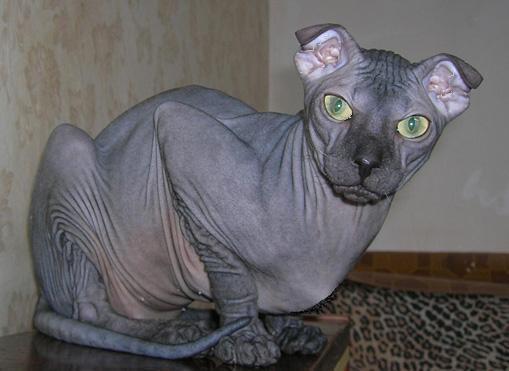 Gato levkoy ucraniano