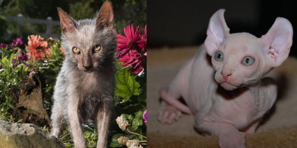 Gato lykoi y gato elfo