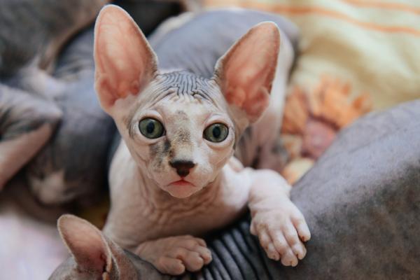 Gato sin pelo