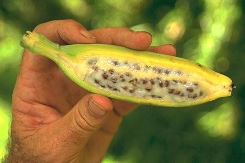 Plátano antes de la ingeniería genética