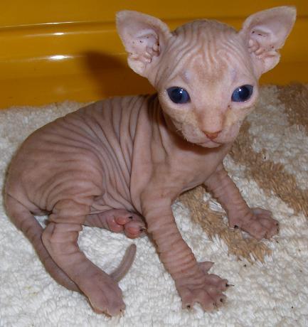 gato egipcio cachorro