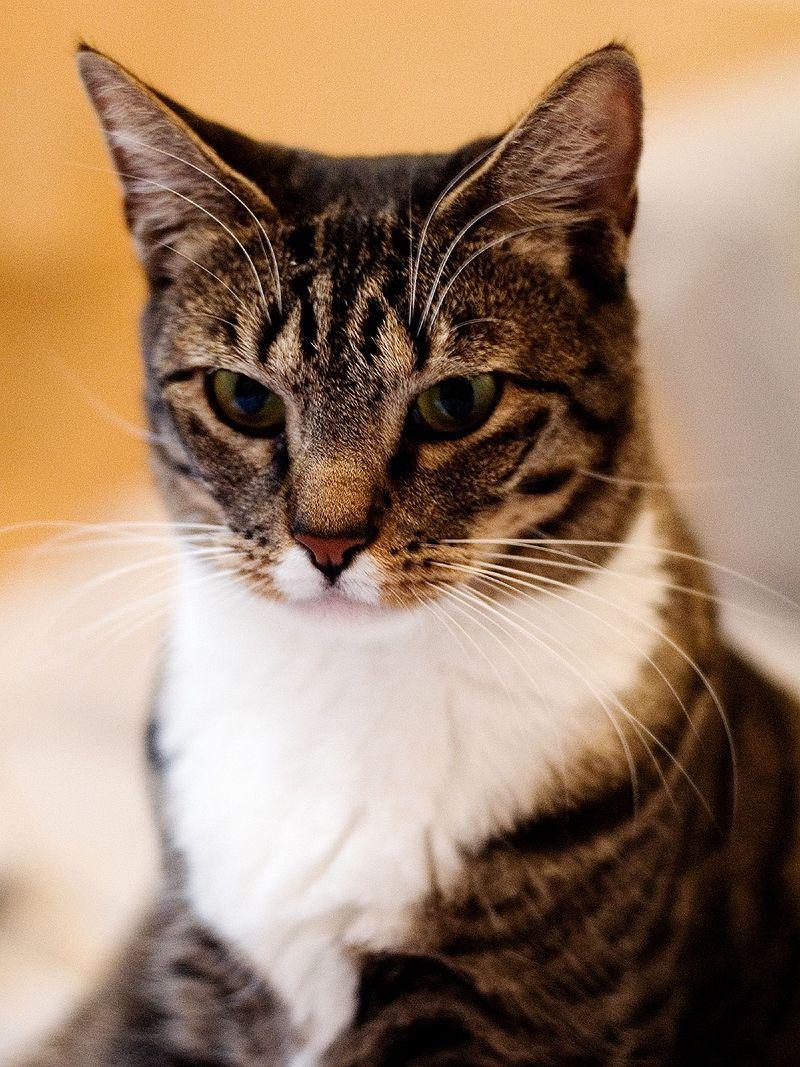 raza de gato