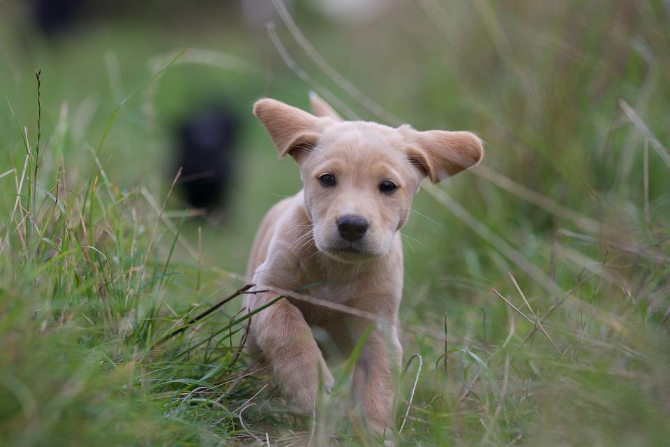 Labrador Retriever Alimentación Cuidados Y Curiosidades