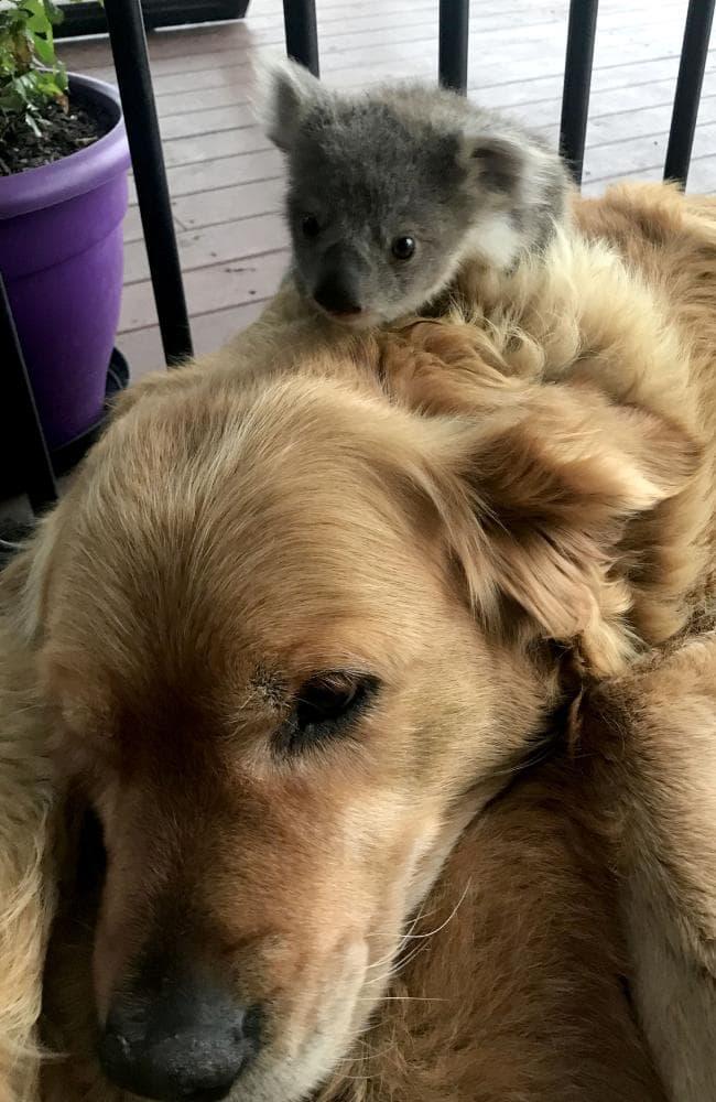 koala, asha, golden