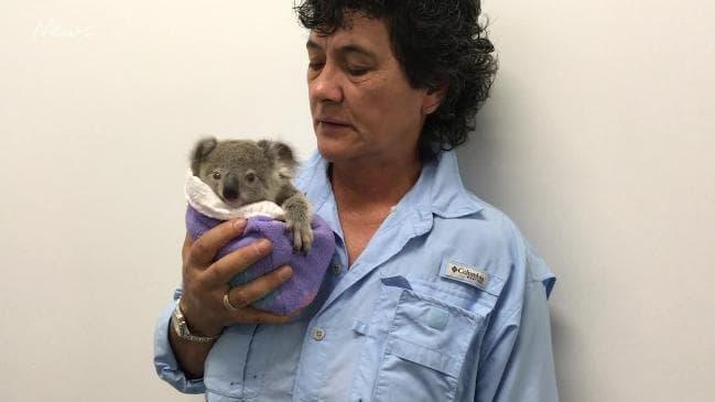 rescate, bebé, koala