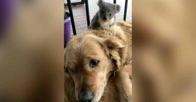 koala y perro