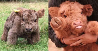 vacas bonitas