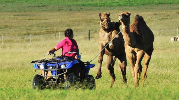 camellos pradera verde ganadería