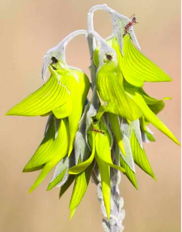 Flor_colibri