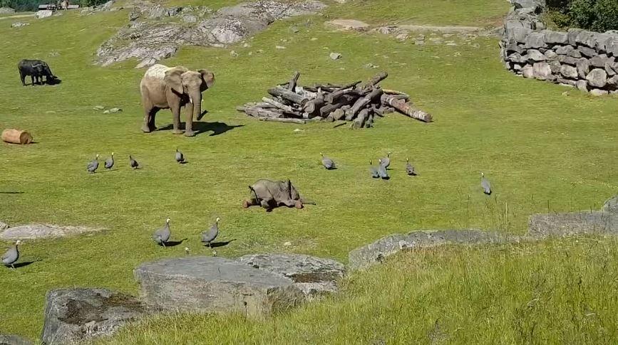 elefante se cae