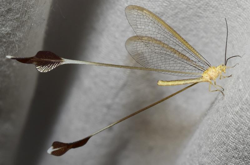 insecto peligro extinción animal duende