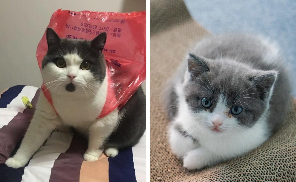 gato clonado