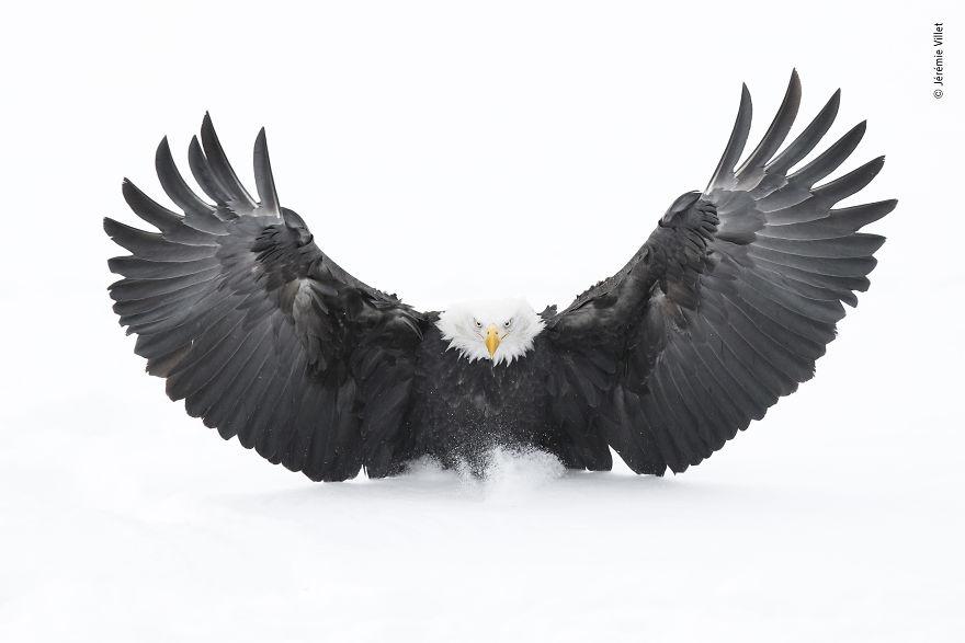 águila_
