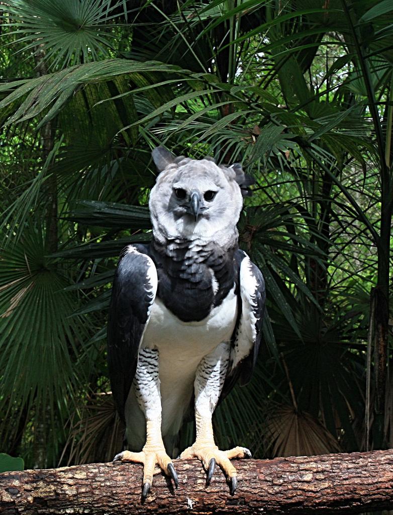 Harpy_eagle