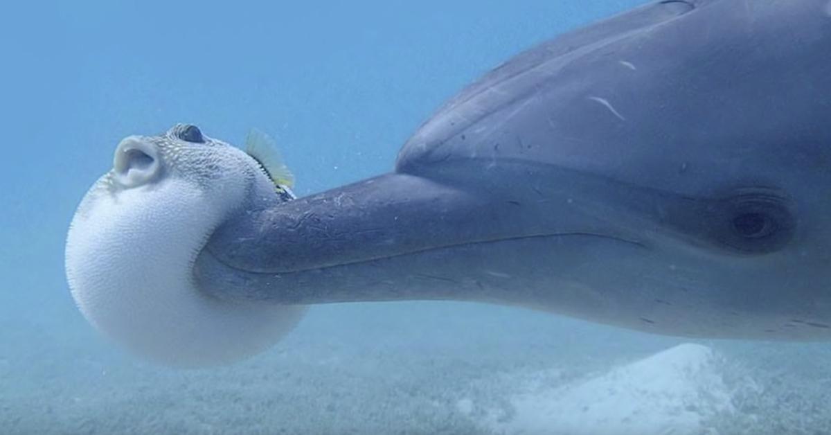 delfin-pez-globo