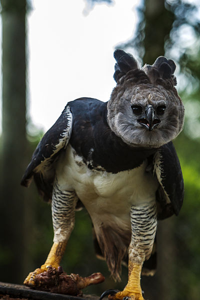 harpy-eagle-