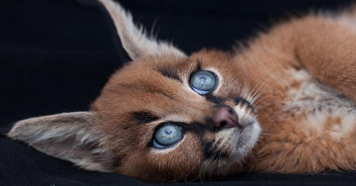 Caracales gato