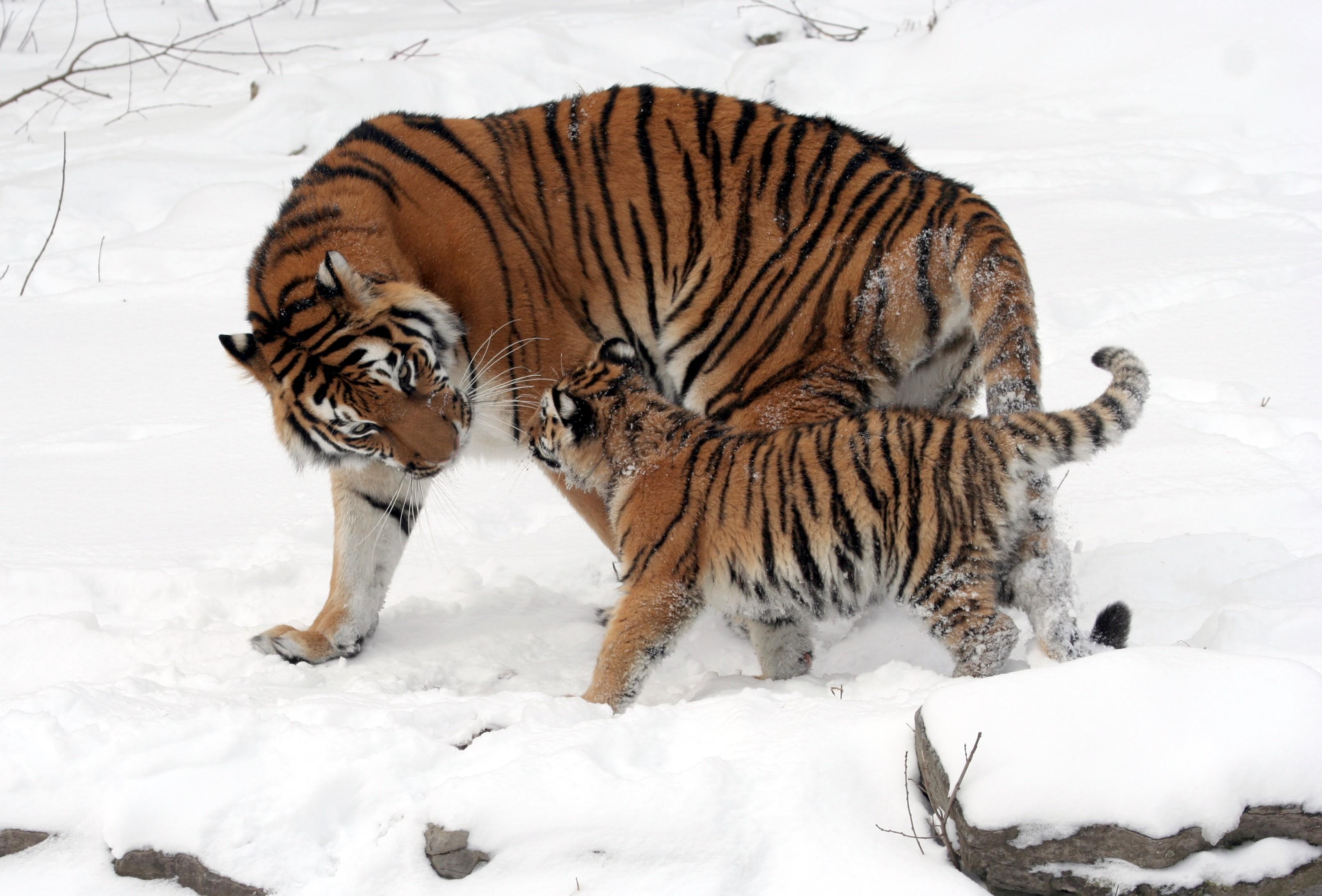 punto de vista piel de tigre