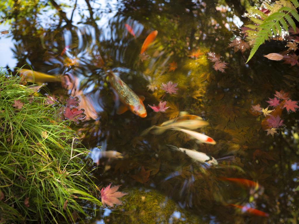 peces japoneses carpas