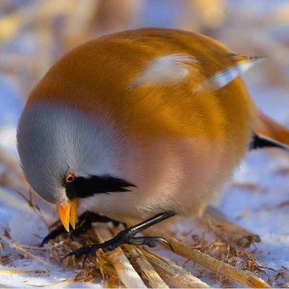 pájaro bigotudo videojuego