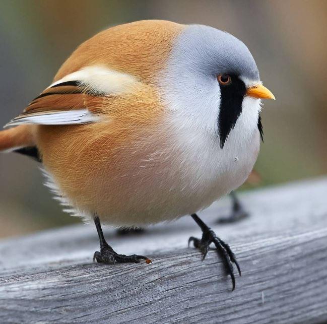 pájaro bigotudo