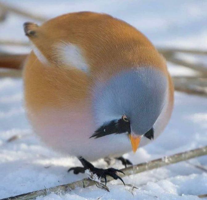 angry birds pájaro bigotudo