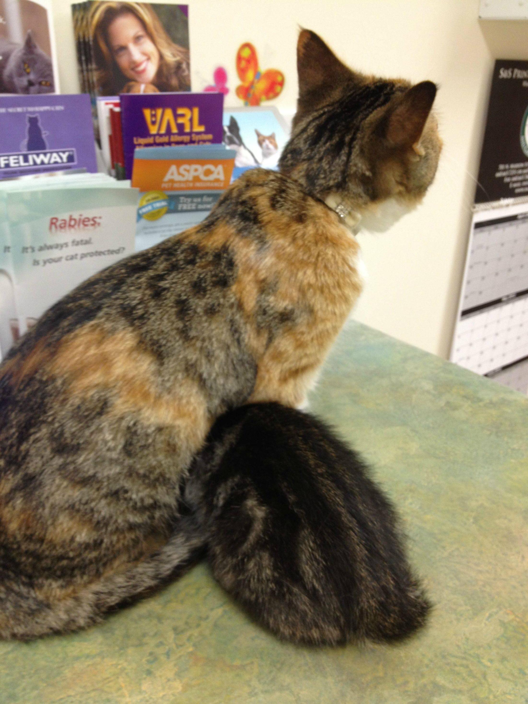 bebé de gato escondiéndose en el veterinario